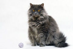 Bruno the cat Royalty Free Stock Photo