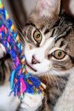 Bruno the Kitten. Kitten playing Royalty Free Stock Photos