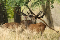 Brunstig säsong för röda hjortar Arkivfoto