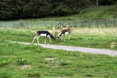 Brunstiga hjortar stags stag Hjortar Royaltyfri Fotografi