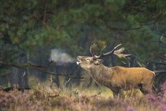 Brunstiga manliga röda hjortar royaltyfri foto