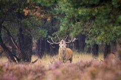 Brunstiga manliga röda hjortar Royaltyfria Bilder