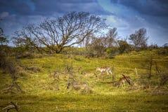 Brunstiga röda hjortar för grupp Arkivfoton