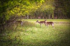 Brunstiga röda hjortar för grupp Royaltyfria Foton