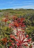 Brunsvigia grandiflora Stock Images