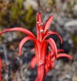 Brunsvigia Orientalis (szczegół) Obrazy Stock