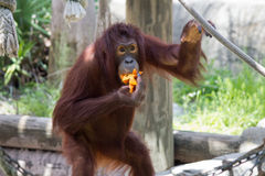 Brunt äta för orangutang Fotografering för Bildbyråer