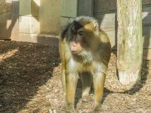 Brunt anseende för macaqueapa bredvid en träpol som ser borrad och lite ledsen primatdjurstående arkivfoton