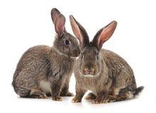 Brunt behandla som ett barn kaniner arkivbild