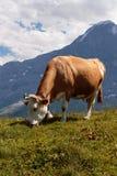 brunt beta för ko Arkivbild