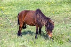 Brunt beta för ponnyhäst som tjudras i ett fält Royaltyfri Bild