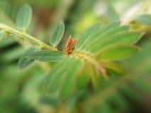 Brunt blad av mimosapudicaväxten, invasive ogräs, makro arkivfoto
