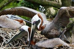 Brunt bygga bo för pelikan Arkivfoton