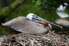 Brunt bygga bo för pelikan Arkivfoto