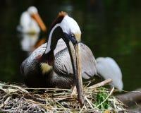 Brunt bygga bo för pelikan Royaltyfri Bild