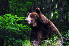 brunt carpathian wild för björn royaltyfria foton