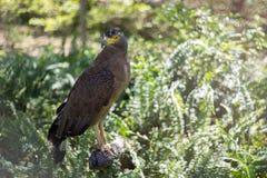 Brunt Eagle sammanträde på journalen Fotografering för Bildbyråer