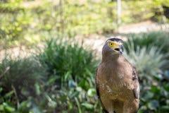 Brunt Eagle sammanträde på journalen Arkivfoton