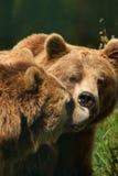 brunt europeiskt foto för björn royaltyfri foto