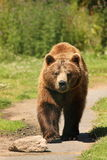 brunt europeiskt foto för björn fotografering för bildbyråer