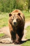 brunt europeiskt foto för björn Arkivfoto