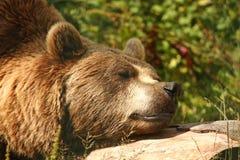 brunt europeiskt foto för björn royaltyfria bilder