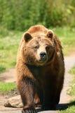 brunt europeiskt foto för björn royaltyfri fotografi