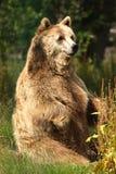 brunt europeiskt foto för björn arkivbilder