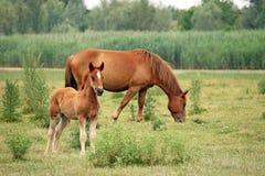 Brunt föl och häst Arkivbild