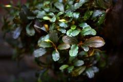 Brunt för Bucephalandra sp-nisse Royaltyfria Bilder