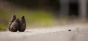 Brunt för tre pinecones och torkar på vit yttersida Suddig naturbakgrund, övre sikt för slut med detaljer, copyspace, baner Royaltyfri Bild