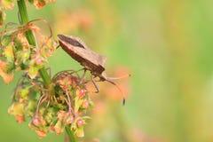 brunt fel för bedbug Royaltyfri Foto