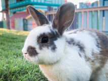 Brunt gå i ax kaninen Arkivbilder