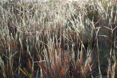 Brunt gräs med dagg Royaltyfri Bild