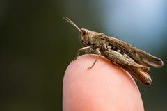 Brunt gräshoppasammanträde på en fingerspets Royaltyfri Foto