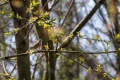 Brunt gråsparvsammanträde på en filial av ett träd med gröna sidor arkivfoton