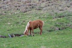 Brunt häst, sidoprofil, isländska arkivfoto