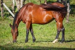 Brunt hästanseende på prärie Arkivfoto