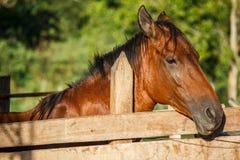 Brunt hästanseende på prärie Royaltyfri Foto