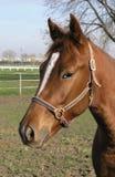 Brunt hästhuvud Fotografering för Bildbyråer