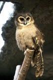 brunt hålla ögonen på för owl Fotografering för Bildbyråer