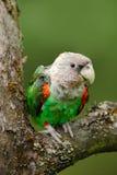 Brunt-hånglad papegoja, Poicephalus robustusfuscicollis, grönt exotiskt fågelsammanträde på trädet, Namibia, Afrika fotografering för bildbyråer