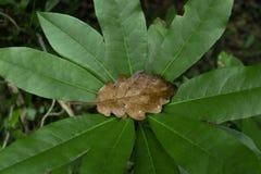 Brunt höstligt blad i mitt av en botanisk grön växt arkivfoto