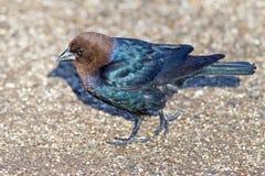 Brunt-hövdad Cowbird Arkivfoto