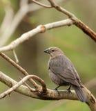 Brunt-hövdad Cowbird, Molothrusater Royaltyfri Foto