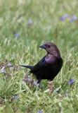 Brunt-hövdad Cowbird (Molothrusater) Royaltyfri Bild