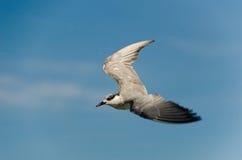 Brunt-hövdat fiskmåsflyg Arkivfoto