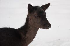 Brunt hjortkvinnlighuvud Royaltyfri Bild