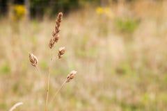 Brunt kärnar ur gräs Arkivfoton