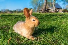 brunt kaninbarn Arkivbild